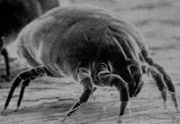 Tea tree oil effective against house dust mite